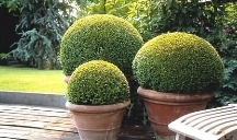buxus in plant pots